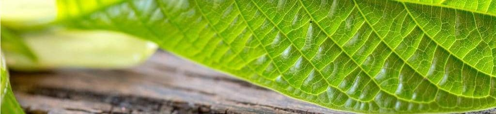 what is kratom made from