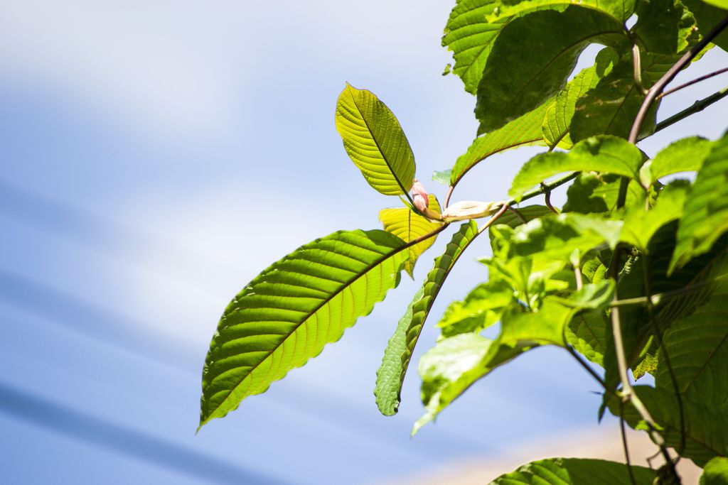 most sedating kratom strain The four strongest kratom strains kratom in it is a stress-free strain which has sedation property the most important factor when trying to make.