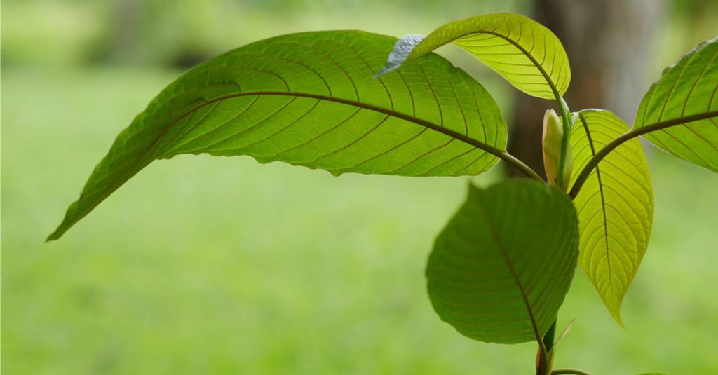 <thrive_headline click tho-post-4286 tho-test-59>What Is Kratom? Complete Kratom Guide to Start Using it Today</thrive_headline>